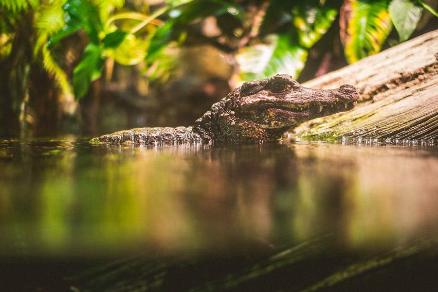 inner harbor aligator