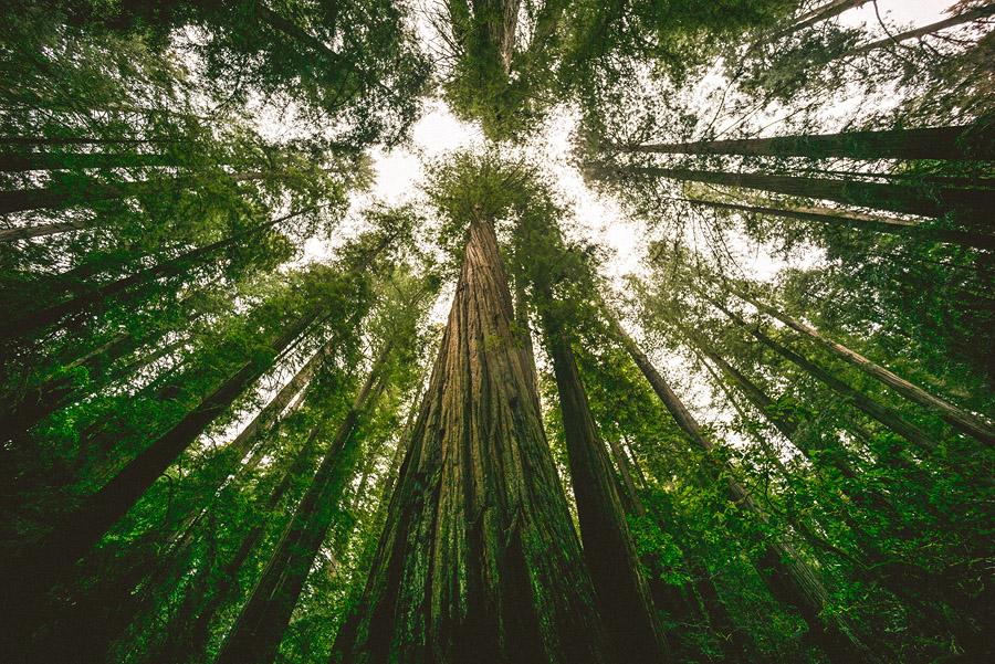 redwood tree ultra wide leica