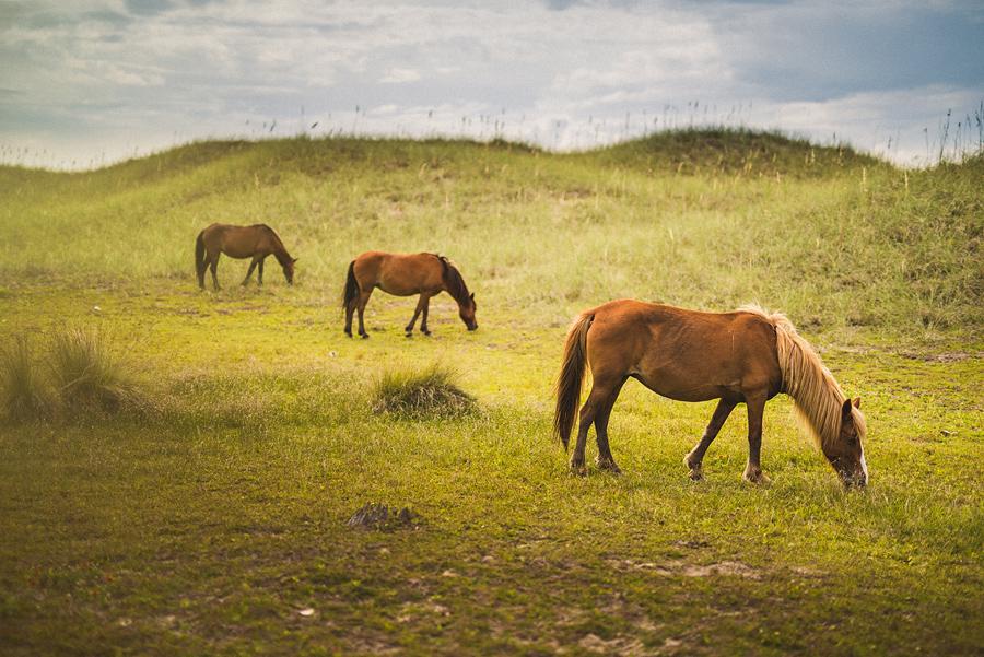wild horses at harkers island