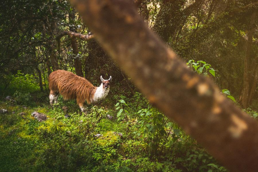 llama in peru in inca trail