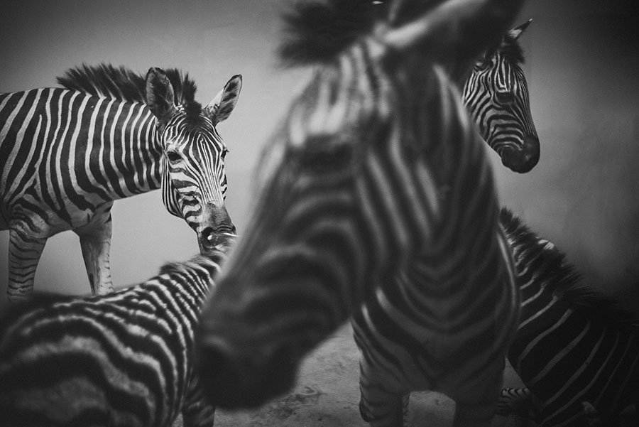 creative zebra photographs