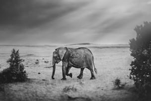 Maasia Mara Elephant // 2