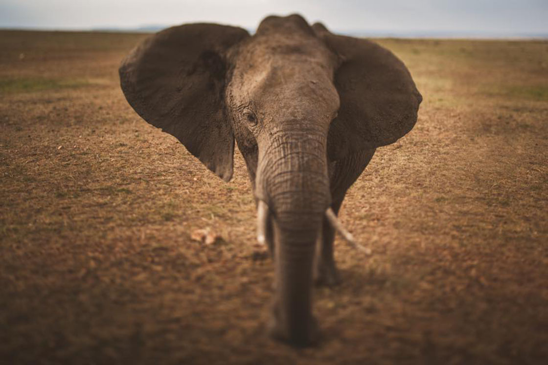 Maasai Mara Elephant // 1